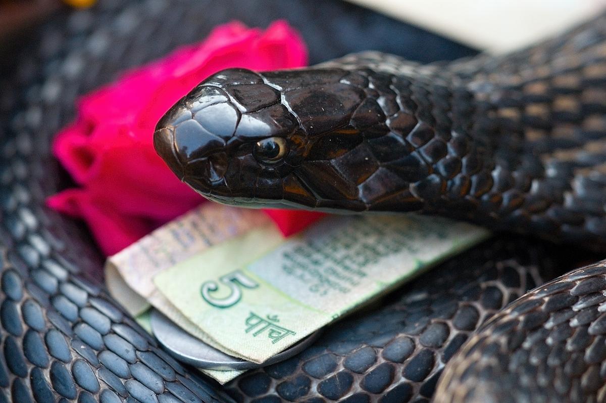 Kobra středoasijská - Naja oxiana; autor: Topi Pigula
