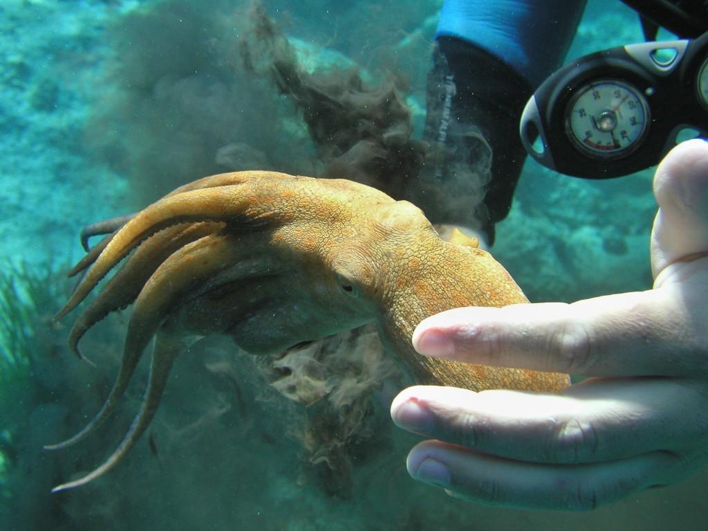 Rozzlobená chobotnice v hloubce 7 m, chorvatský ostrov Lastovo 2011, Olympus Camedia C4040, přisvícení lampou