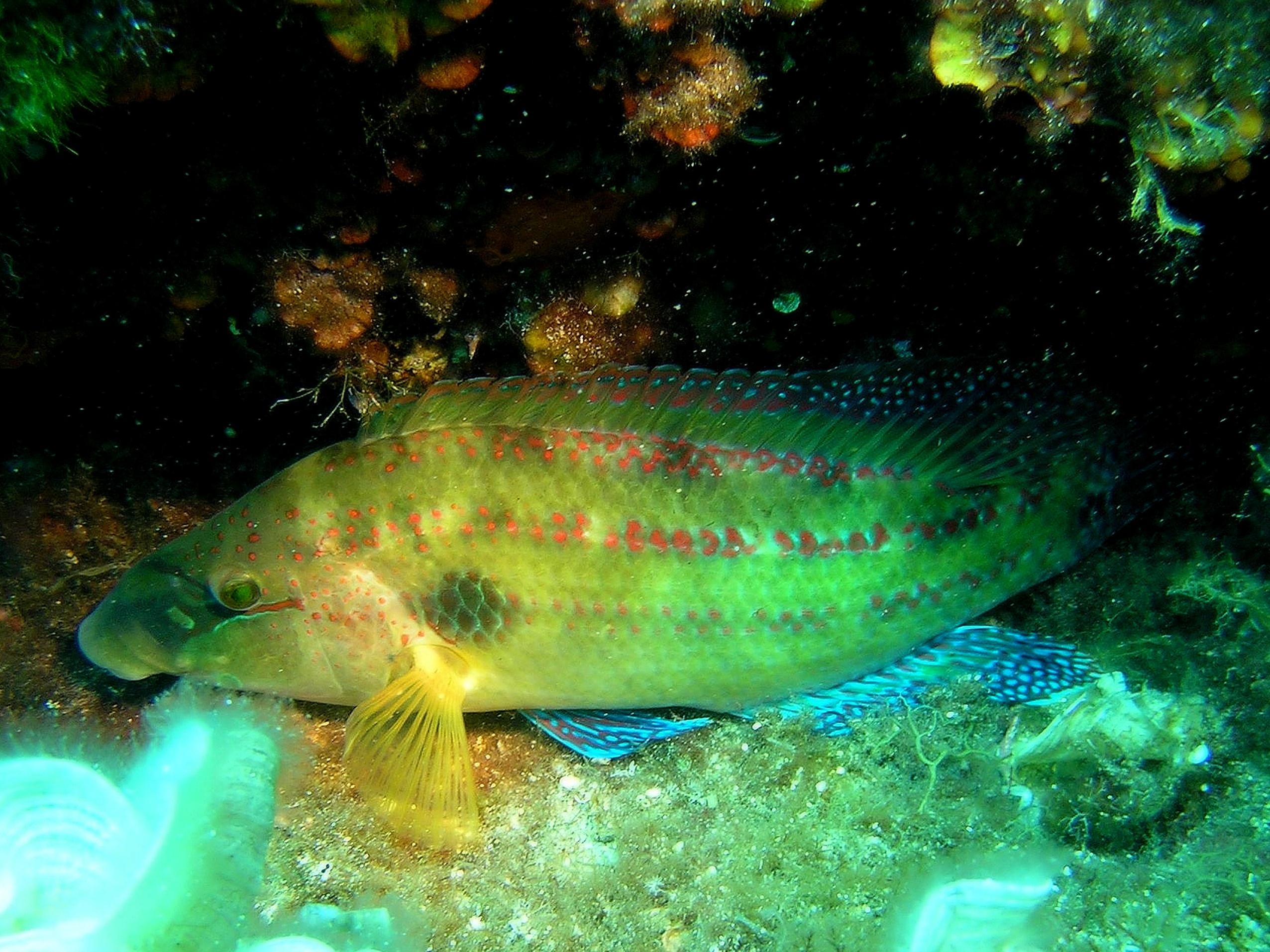 Pyskoun v hloubce 8 m, základna Murter 2006, Olympus Camedia C4040, přisvícení lampou