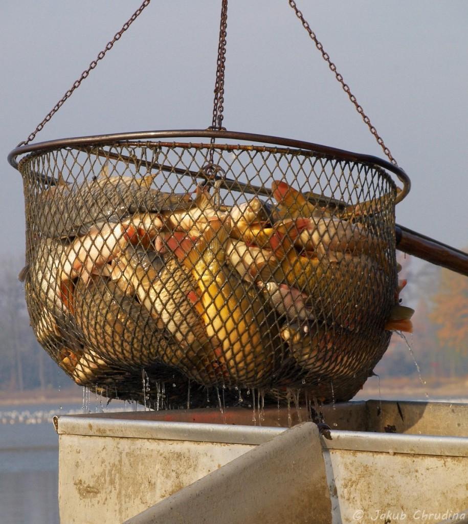 Nakládání kaprů do kádí, výlov rybníku Bezruč. Olympus E-420, Olympus ZUIKO 40-150/3.5-5.6, ohnisko 70mm, ISO 200, f 8, 1/320s