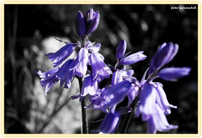 Das Hauptmotiv in Farbe, die Umgebung schwarzweiß. Eine perfekte Lösung, um die violetten Glöckchen noch besser zur Geltung zu bringen. Autor: Zirkonrama