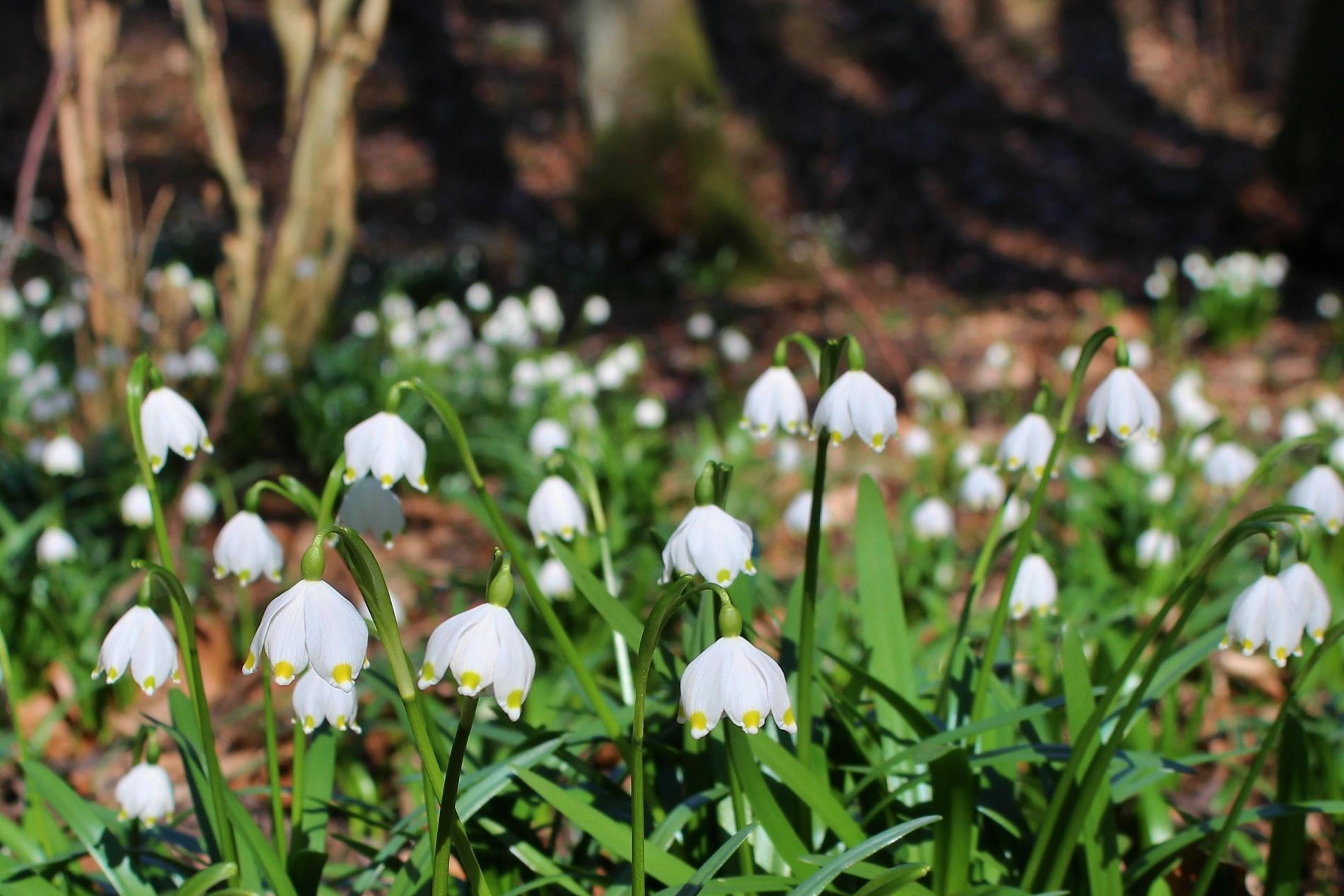 Fotografování jarních květin nemusí být pouze makrofotografií jednotlivých květů nebo trsů. Ukažte květy v jejich životním prostředí. Bledule v údolí Chlébského potoka na Vysočině, foceno 9. 3. 2014. Canon EOS 100D, objektiv EF-S 18-55, 1/80 s, F6.0, kompenzace EV −1/3, ISO100, ohnisko (EQ35) 50 mm.jpg