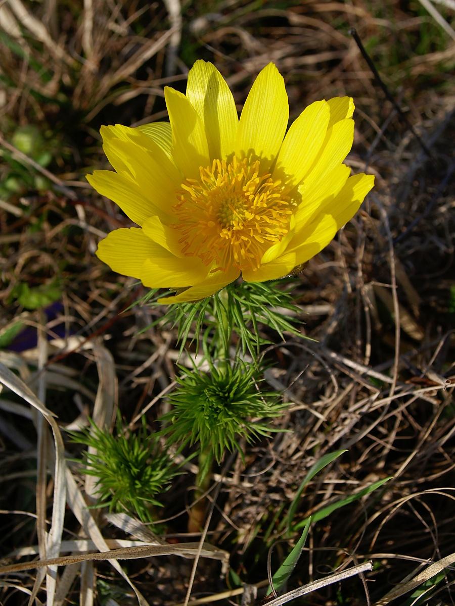 Malá slunce připomínají žluté květy hlaváčků jarních. Rostou většinou v trsech o mnoha květech. Ani v tom množstvím, v jakém se vyskytují v PP Kamenný vrch u Kurdějova, odkud pochází tato fotografie, není snadné najít opravdu fotogenní trs, tedy takový, který bez nastrojení má pěkně uspořádané, otevřené a nezaschlé všechny květy. Proto je možné zkusit fotit solitérní rostliny. Foceno 1. dubna 2012.  Olympus E-510, 14.00 – 42.00 mm, 1/160 s, F8, ISO100, ohnisko (EQ35) 34 mm. Vyvoláno z RAW v ZPS pro dosažení lepší kresby struktury listů.jpg