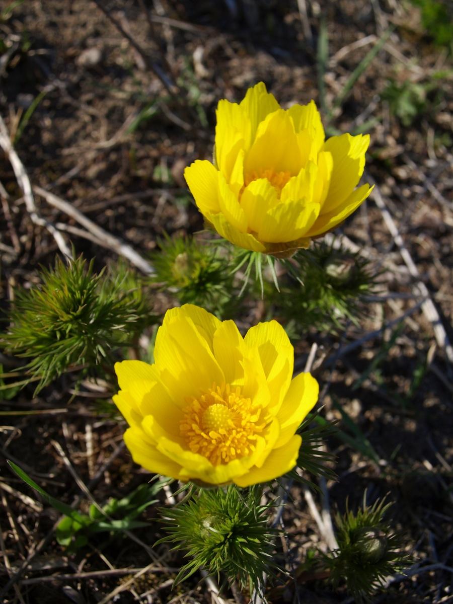 Ve správnou chvíli na správném místě. Přestože lokalita výskytu hlaváčku jarního PP Kamenný vrch u Kurdějova je prosluněnou loukou, chladnější počasí nebo anebo nesprávná denní doba mohou způsobit, že květy se částečně nebo zcela uzavřou. To je případ i těchto dvou hlaváčků, vyfocených 3. dubna 2010 později odpoledne (16:02). Olympus E-510, 14.00 – 42.00 mm, 1/125 s, F8, bez kompenzace expozice, ISO100, ohnisko (EQ35) 42 mm.jpg