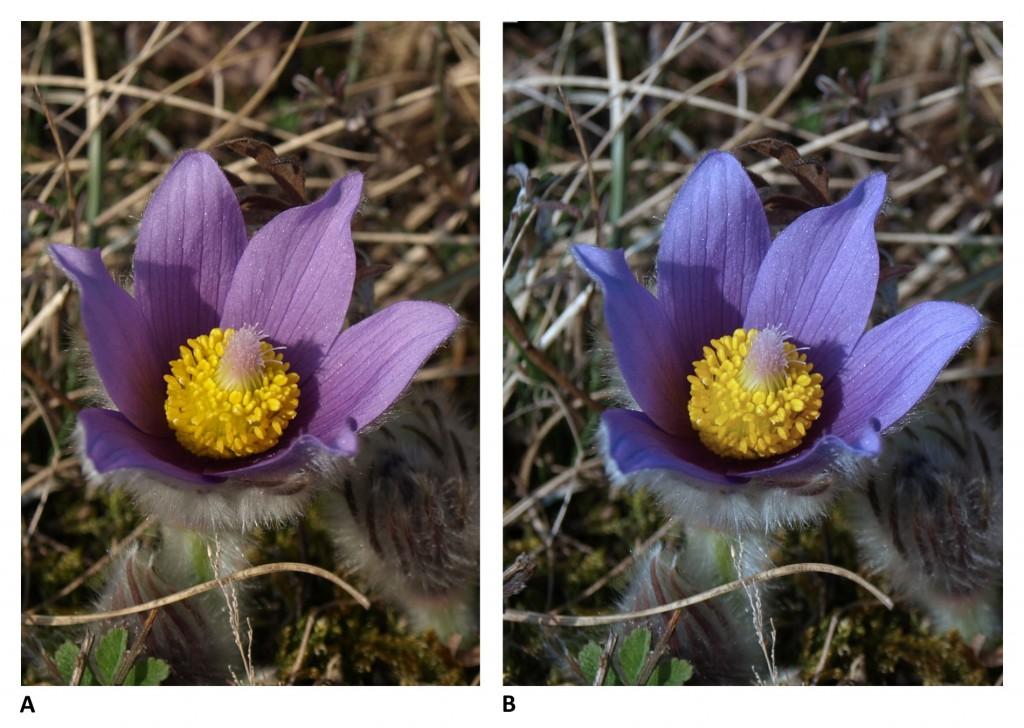 """Která barva je správná? Koniklece mohou mít různé odstíny fialové barvy – od té více """"do modra"""" do té více """"do červena"""". Na levém snímku originální záběr pořízený s automatickým vyvážením bílé barvy, vpravo snímek s posunem barevné teploty ze Zoner Photo Studio o 1 400 K. Obě barvy jsou přitom v podstatě správné. Použití šedé destičky umožní zaručit správné barvy v každé lokalitě. Všimněte si také stínu uvnitř květu. Použití odrazové destičky k nasvícení květu by pomohlo jej změkčit. Koniklec luční v lokalitě na Biskoupský kopec na Vysočině, foceno 24. 3. 2012. Olympus E-510, 14.00–42.00 mm, 1/100 s, F7.1, kompenzace EV −0,3, ISO100, ohnisko (EQ35) 28 mm.jpg"""