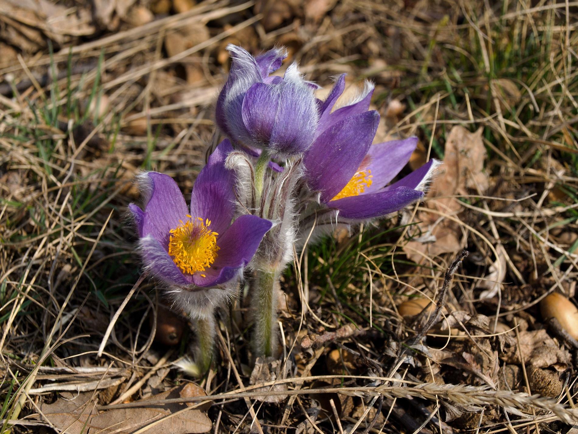 Krása v detailu. Koniklec velkokvětý je, na rozdíl od jiných jarních květů, matný, a tak se tolik na slunci nepřepaluje. Úskalím jeho focení jsou jeho jemné chloupky. Musíte velmi dobře nastavit hloubku ostrosti, chcete-li jej správně zachytit, tím spíše více květů v trsu najednou. Když se vám to ale povede, je to nádhera, že? Tyto květy byly vyfoceny v lokalitě PR Biskoupský kopec nad údolím Jihlavy. Olympus E-510, 14.00 – 42.00 mm, 1/160 s, F7.1, ISO100, ohnisko (EQ35) 70 mm. Vyvoláno z RAW v ZPS pro dosažení jemnějších detailů a věrnějších barev.jpg