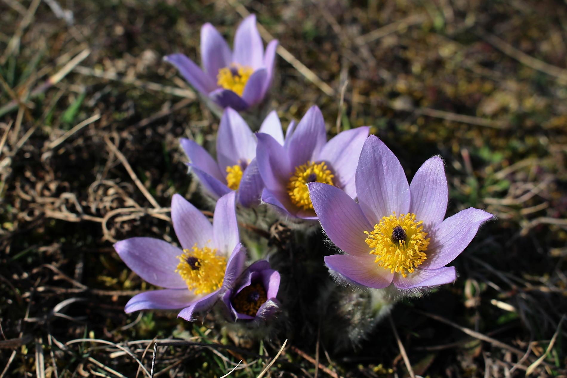 Není jedna lokalita jako druhá. Podobu květů částečně ovlivňuje i konkrétní prostředí. Koniklece velkokvěté, které jsem nafotil v PR Kamenný vrch v Novém Lískovci v Brně, se mi zdají trochu jinak zbarvené, než ty odjinud. Foceno 8. března 2014. Canon EOS 100D, objektiv EF-S 18-55, 1/125 s, F7.1, kompenzace EV −1/3, ISO100, ohnisko (EQ35) 46 mm.jpg