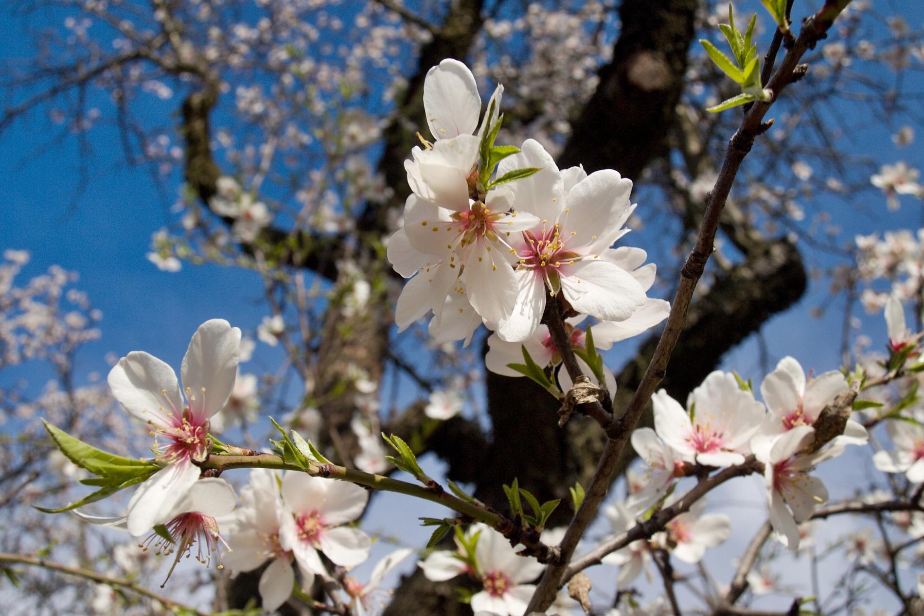 Ke květům mandloní se nemusíte shýbat, jako k jarním bylinám, naopak to někdy chce něco pod nohy, jako tady, na Hustopečském starém vrchu, kde jsou po revitalizaci květy značně vysoko. Nevýhodou focení květů na stromech je také fakt, že se o poznání více hýbou a jsou zpravidla více vystavěny přímému slunci. Přesto je focení za slunečného dne lepší, protože pozadí tvoří příjemně modrá obloha. Foceno 1. dubna 2012.  Olympus E-510, 14.00 – 42.00 mm, 1/160 s, F8, ISO100, ohnisko (EQ35) 36 mm. Vyvoláno z RAW v ZPS pro citlivější úpravu kontrastu světlých květů a pozadí za jasného dne.jpg