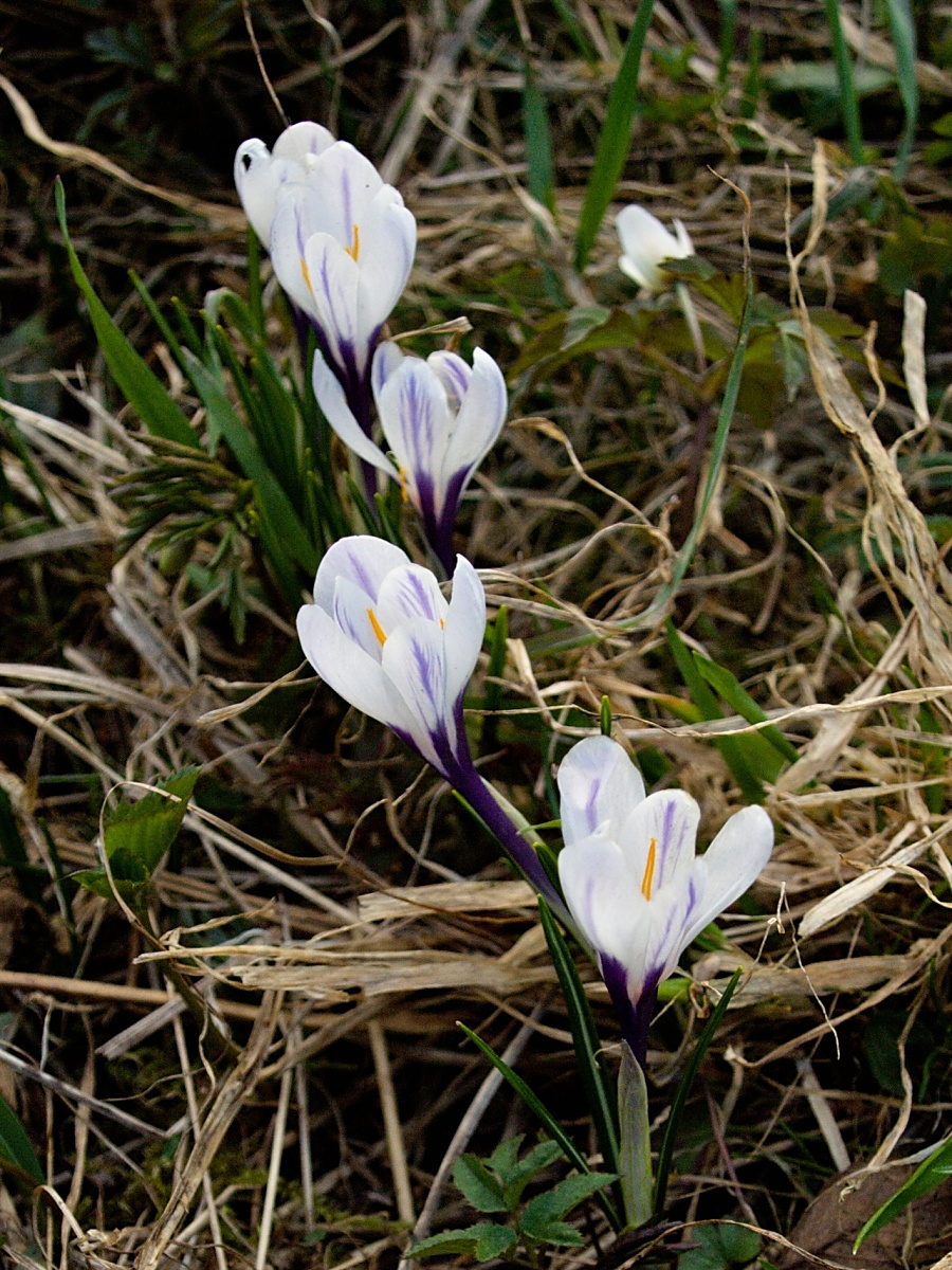 Šafrán bělokvětý v lokalitě PP U Bezděků není původním druhem. Celkem se jim tam ale daří, byť květy nejsou tak krásné, jako najdete u krokusů v zahrádkách. Foceno 8. dubna 2009. Olympus E-510, 14.00 – 42.00 mm, 1/100 s, F3.8, ISO100, ohnisko (EQ35) 34 mm. Protože fotografie bohužel vnikla už dost pozdě (18:10) za nedostatku světla, bylo vhodné fotografii vyvolat z RAW z v ZPS, čímž se částečně eliminoval šum při úpravě expozice.jpg
