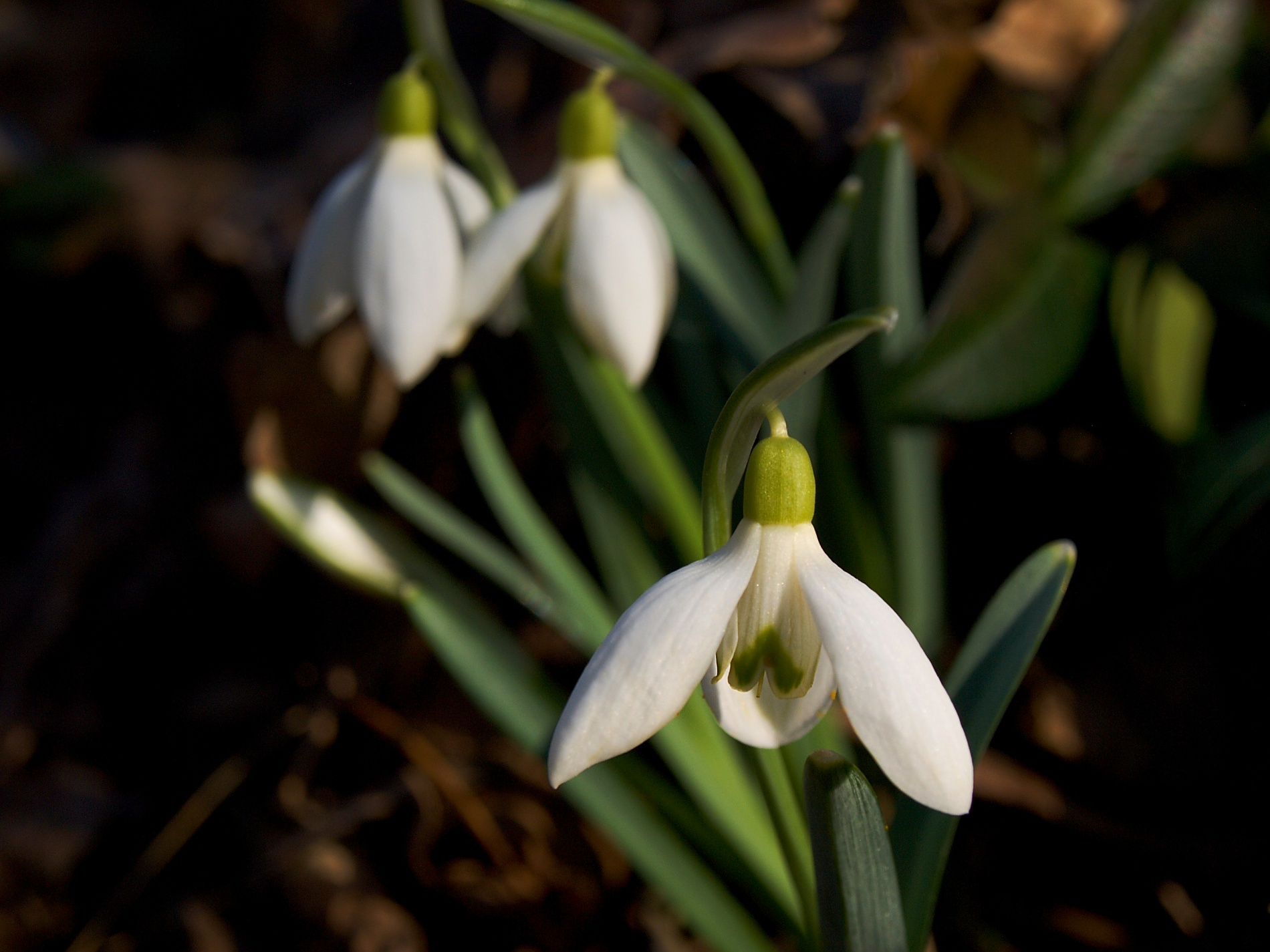 """""""Lehké jak pírko. Lehké květy sněženek podsněžníku je obtížné zachytit z blízka. Přestože se choulí v lesním porostu, jako tyto v lokalitě NPR Pouzdřanská step – Kolby, i sebemenší závan větru je roztřepe.jpg"""
