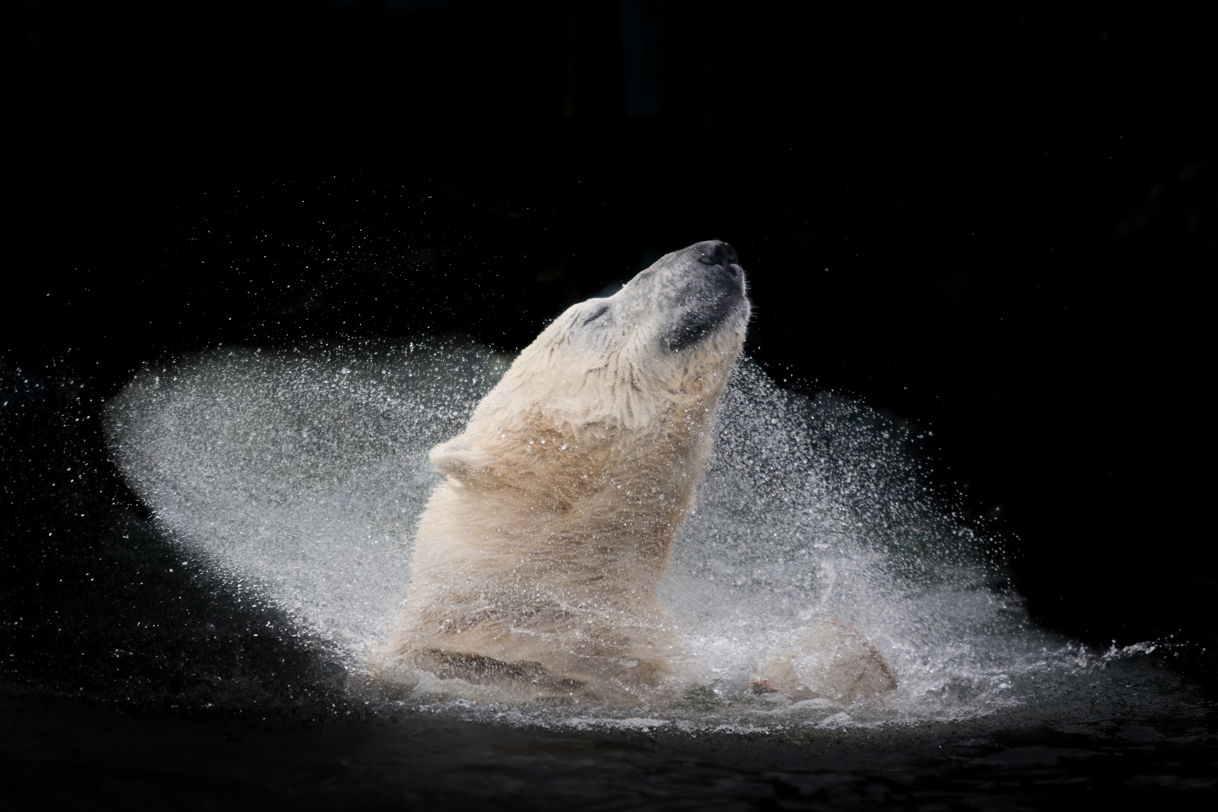 A polar bear enjoying his bath.jpg