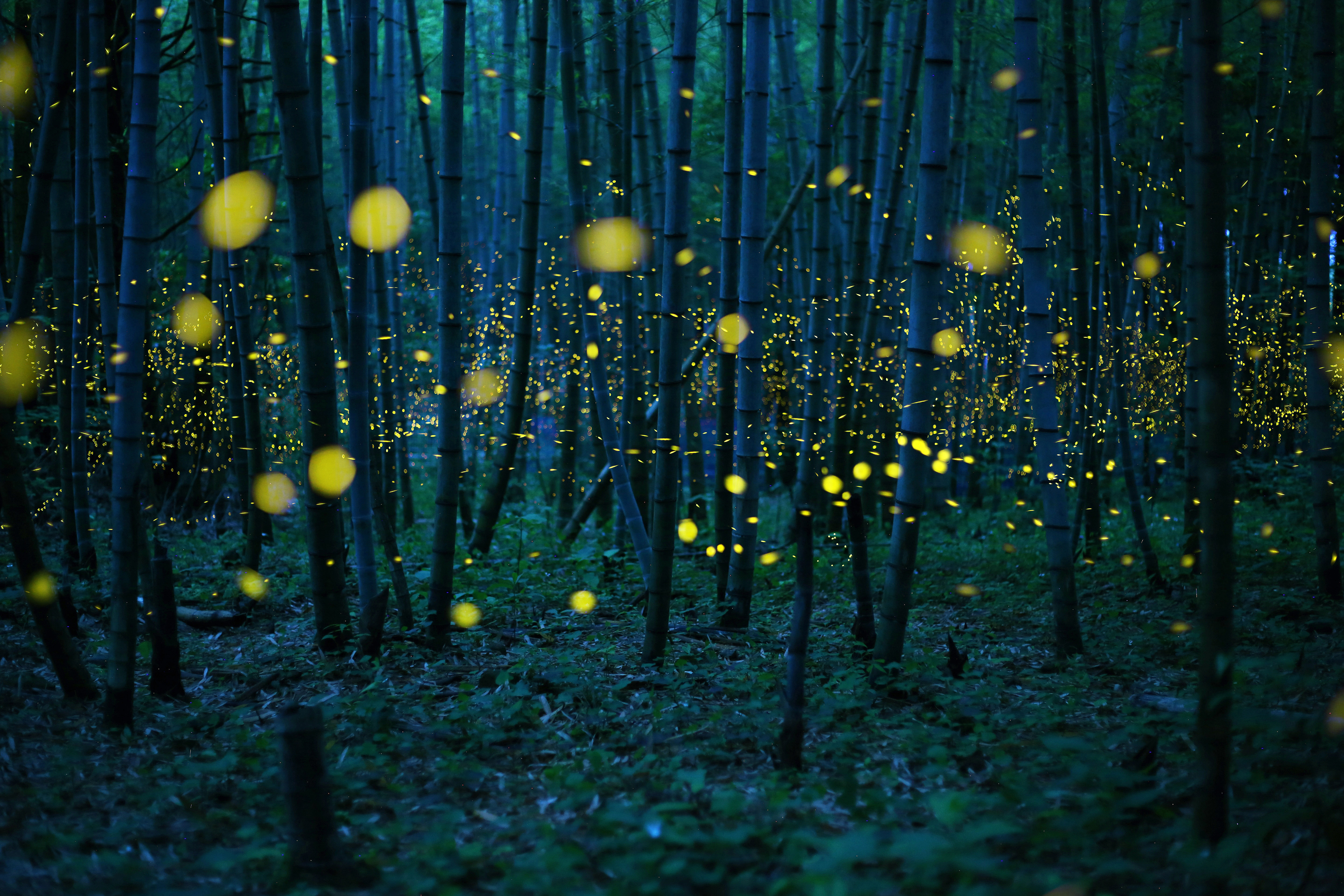 The season of a firefly comes around in Japan at the beginning of a rainy season. This firefly is a species called Luciola parvula, and repeats blink. [Hime-HOTARU] Call a firefly in Japan. This species flies in the beautiful forest. In particular, the firefly in bamboo forest is valuable. The population of these firefly decreases every year in Japan. These may be influence by environmental destruction. This picture was taken under a little moonlight.jpg