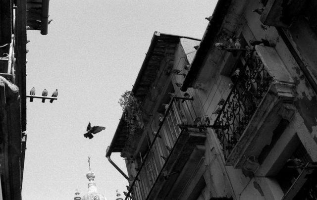 Letící holub