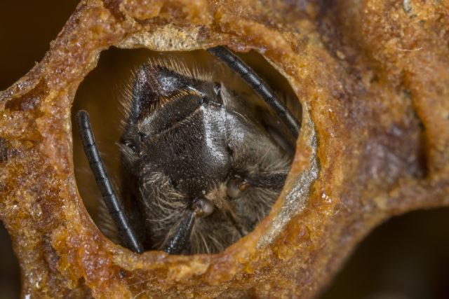 Fotografování včel: včelí dělnice se právě prokousává voskovým víčkem své komůrky.