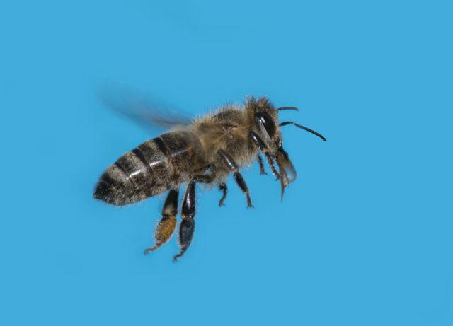 Fotografování včel: letící včela