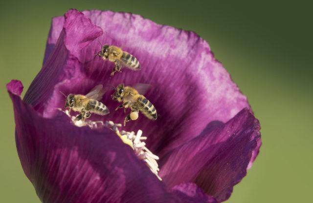 Fotografování včel: včely na makovém květu.