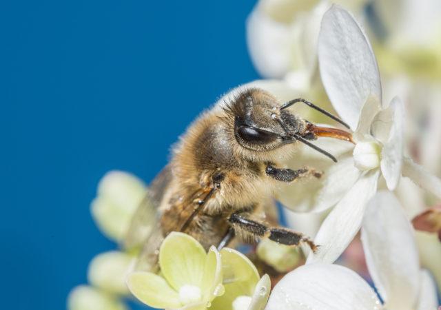 Fotografování včel: včela sající nektar.
