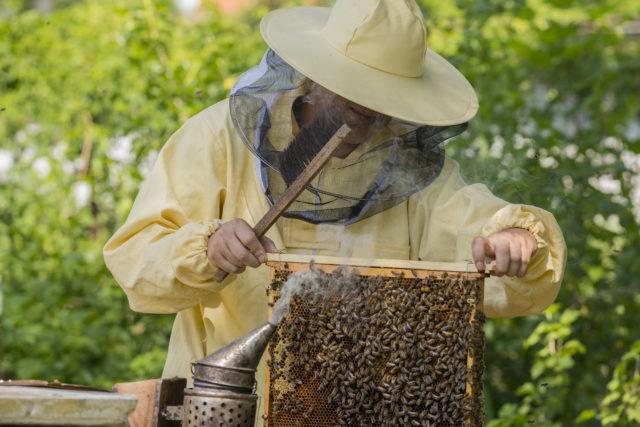 Fotografování včel: Včelař při kontrole úlu.