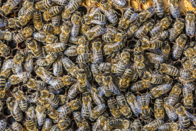 Fotografování včel: detail plástu se včelami.