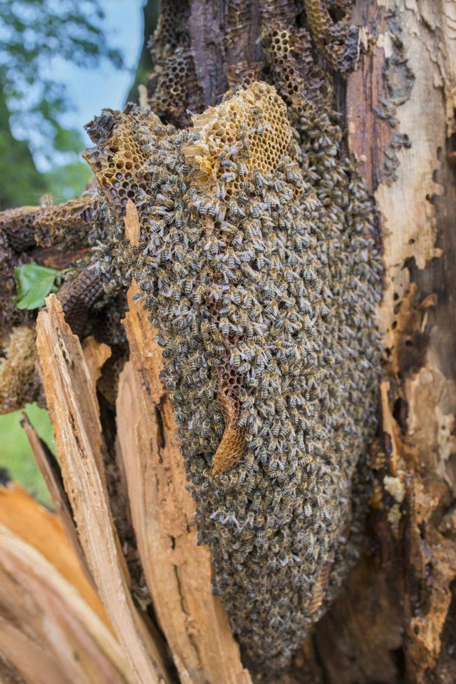 Fotografování včel: rozlomený strom se včelami.