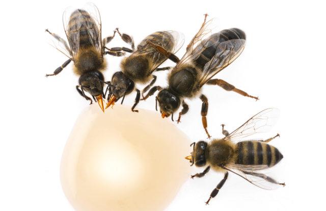 Fotografování včel: včelí matka a dělnice lízající med.