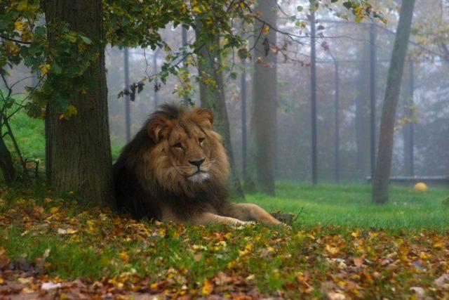 Focení venku: lev v mlze.
