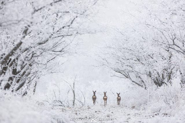 Focení krajiny teleobjektivem: zvěř v zimě.