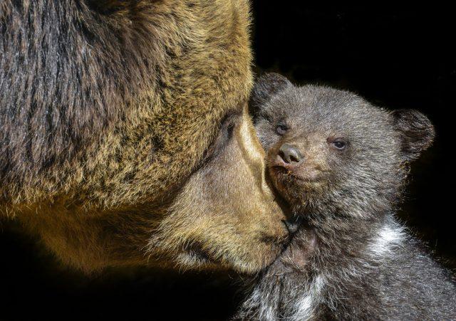 Jak fotit zvířata v zoo: medvědice s mládětem.