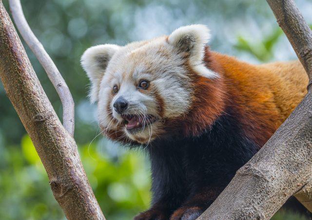 Jak fotit zvířata v zoo: panda červená fotografovaná s korekcí expozice.