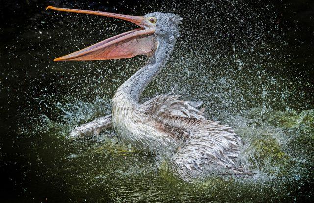 Jak fotit zvířata v zoo: pelikán ve vodě.