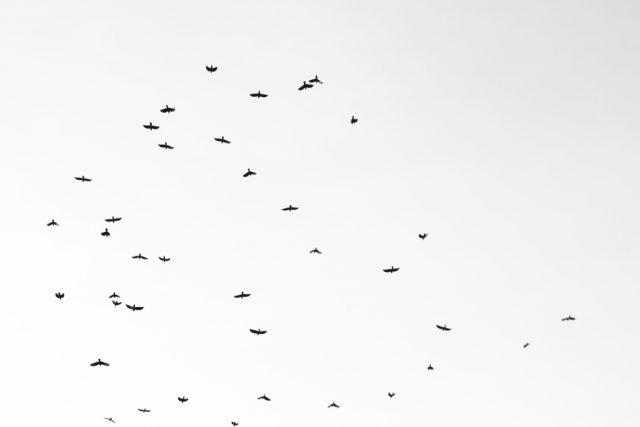 Jak vylepšit černobílé fotografie: minimalistická fotka letících ptáků.