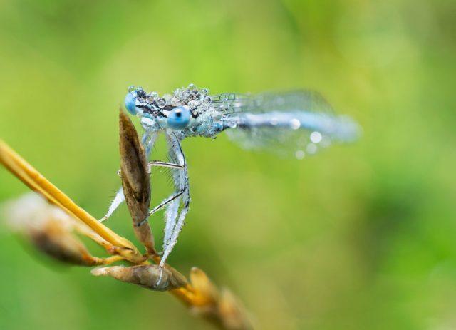Makro vs. close up: snímek celé vážky.