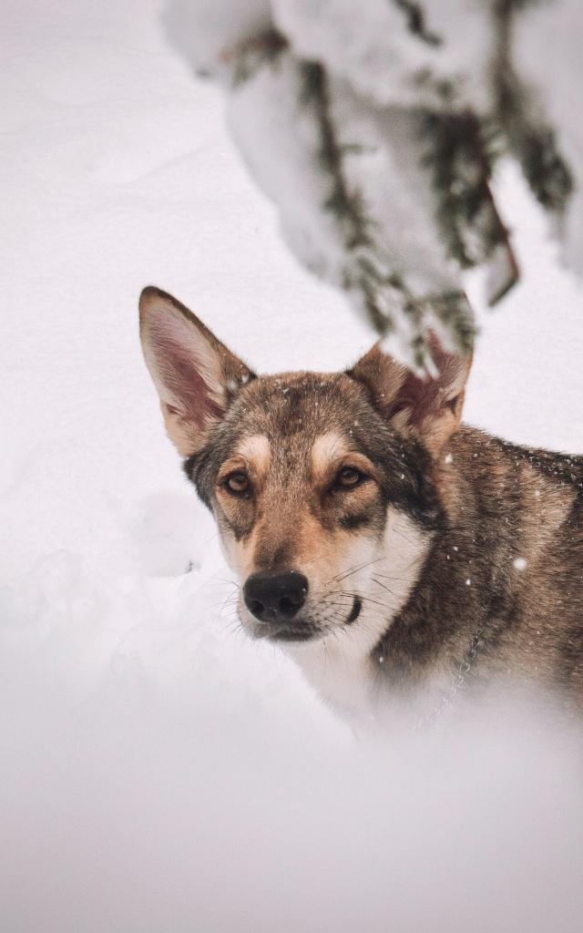 Jak fotit psy - Arista a sníh