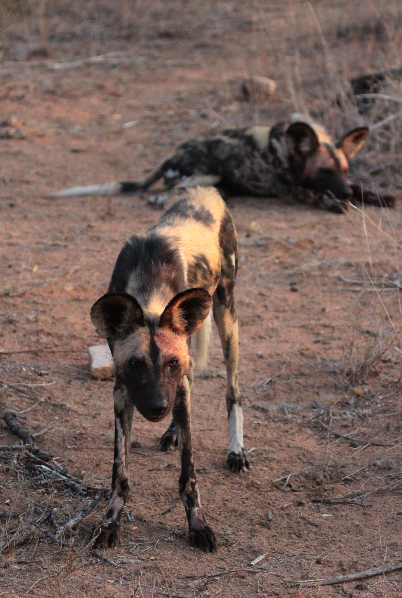 Fotografická výprava za psy hyenovitými, nepolapitelnými stíny Afriky