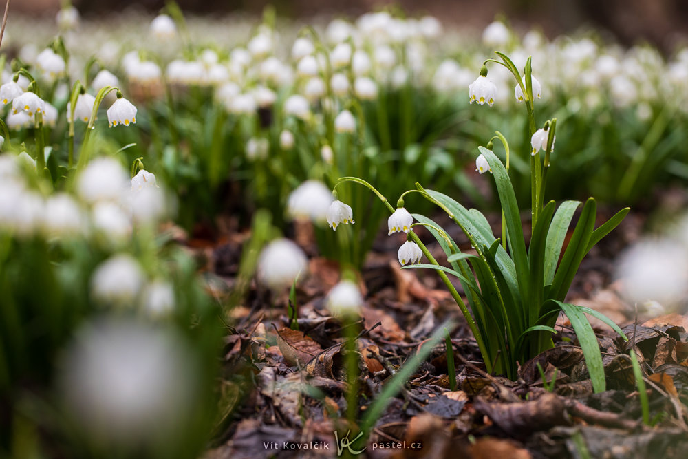 Focení prvních jarních květin